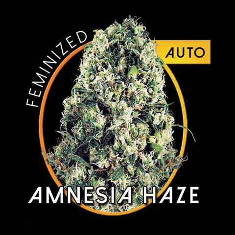 Amnesia haze auto for Terreau cannabis exterieur
