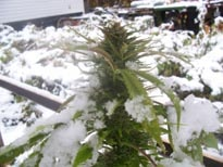 Graines de cannabis climat froid for Graine de cannabis exterieur