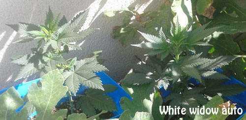 Graines de cannabis autofloraison for Autofloraison interieur