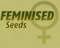 feminised cannabis seeds